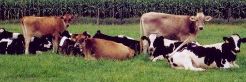 Du lait humain produit par les vaches