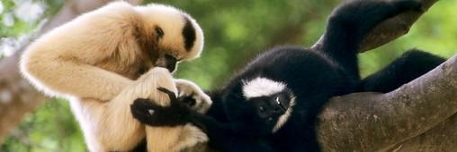 Vietnam. Une colonie de gibbons menacés d'extinction découverte