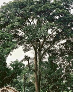 L'iroko, l'arbre miraculeux anti-CO2