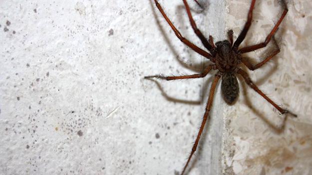 trucs et astuces lutter contre les araign es chez vous. Black Bedroom Furniture Sets. Home Design Ideas