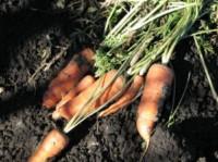 carottes jardin