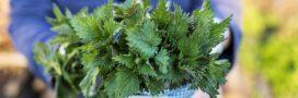 Trucs et Astuces. Que faire de l'ortie qui pousse dans nos jardins?