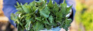 Trucs et Astuces. Que faire de l'ortie qui pousse dans nos jardins ?