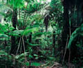 gorille fortet tropicale