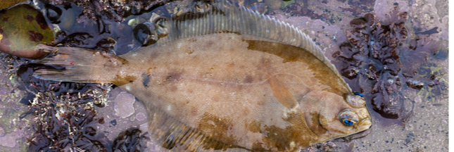 Guide poisson : la limande
