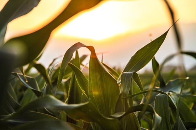 champs de maïs fibre textile naturelle écologique