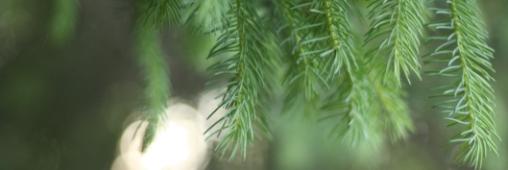 67% des acheteurs défendent le sapin de Noël naturel français