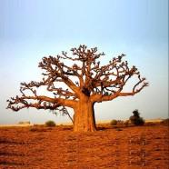 Baobab - Adansonia Digitata - Tree Nation
