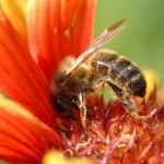 abeille.11800747451-150x150 abeille