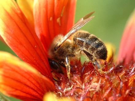 abeille.1180074745