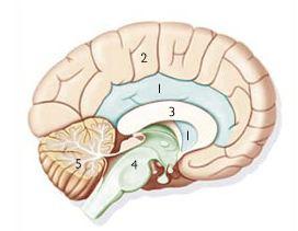 cerveau triunique mc lean