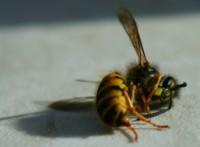 les abeilles disparaissent