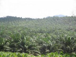 huile-palme-palmiers