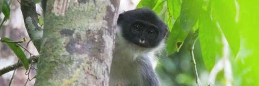 Biodiversité. Une espèce de singe disparue réapparaît