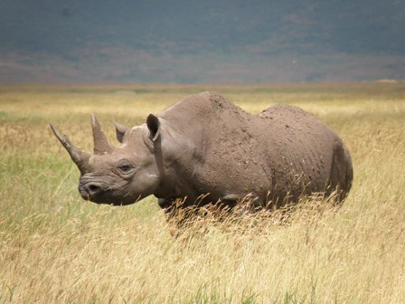 espèces-animaux-disparus-rhinocéros-noir-Afrique-ouest