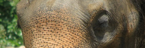 Les éléphants menacés d'extinction à cause du braconnage