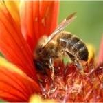 abeille-et propolis