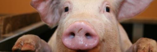 Portrait de cochon sur barquette de jambon