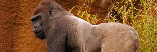 Biodiversité : il se bat pour sauver les gorilles