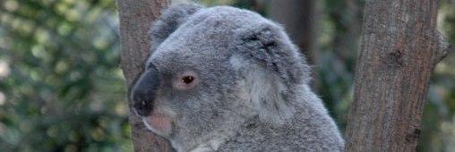 Koala, enfin répertorié comme une espèce vulnérable en Australie