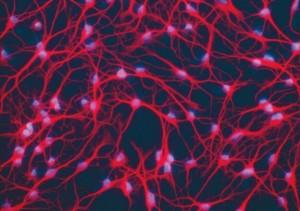 dha et neurones
