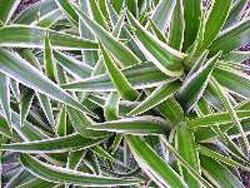 Chlorophyttum