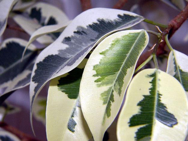 ficus-plante-air-pollution