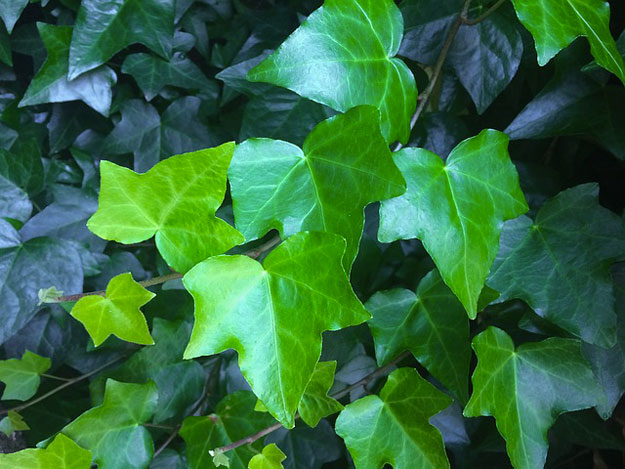 lierre-plante-air-pollution