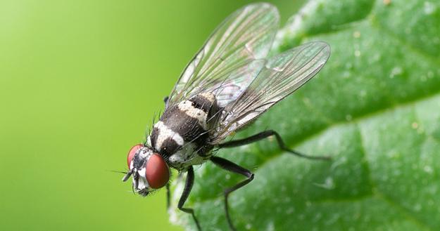 quelques moyens naturels pour repousser les mouches page 2. Black Bedroom Furniture Sets. Home Design Ideas