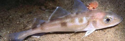 L'églefin ou haddock, poisson à consommer sans menacer les stocks