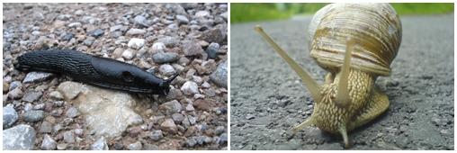 Alerte ! Limaces et escargots envahissent les jardins !