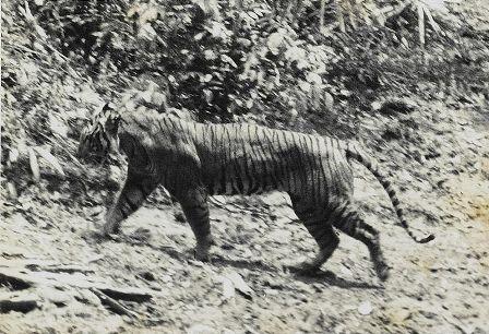 espèces-animaux-disparus-tigre-java