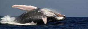 Pas de sanctuaire pour les baleines dans l'Altlantique Sud