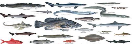 Poissons d 39 eaux profondes encyclo l for Poisson les plus cuisiner