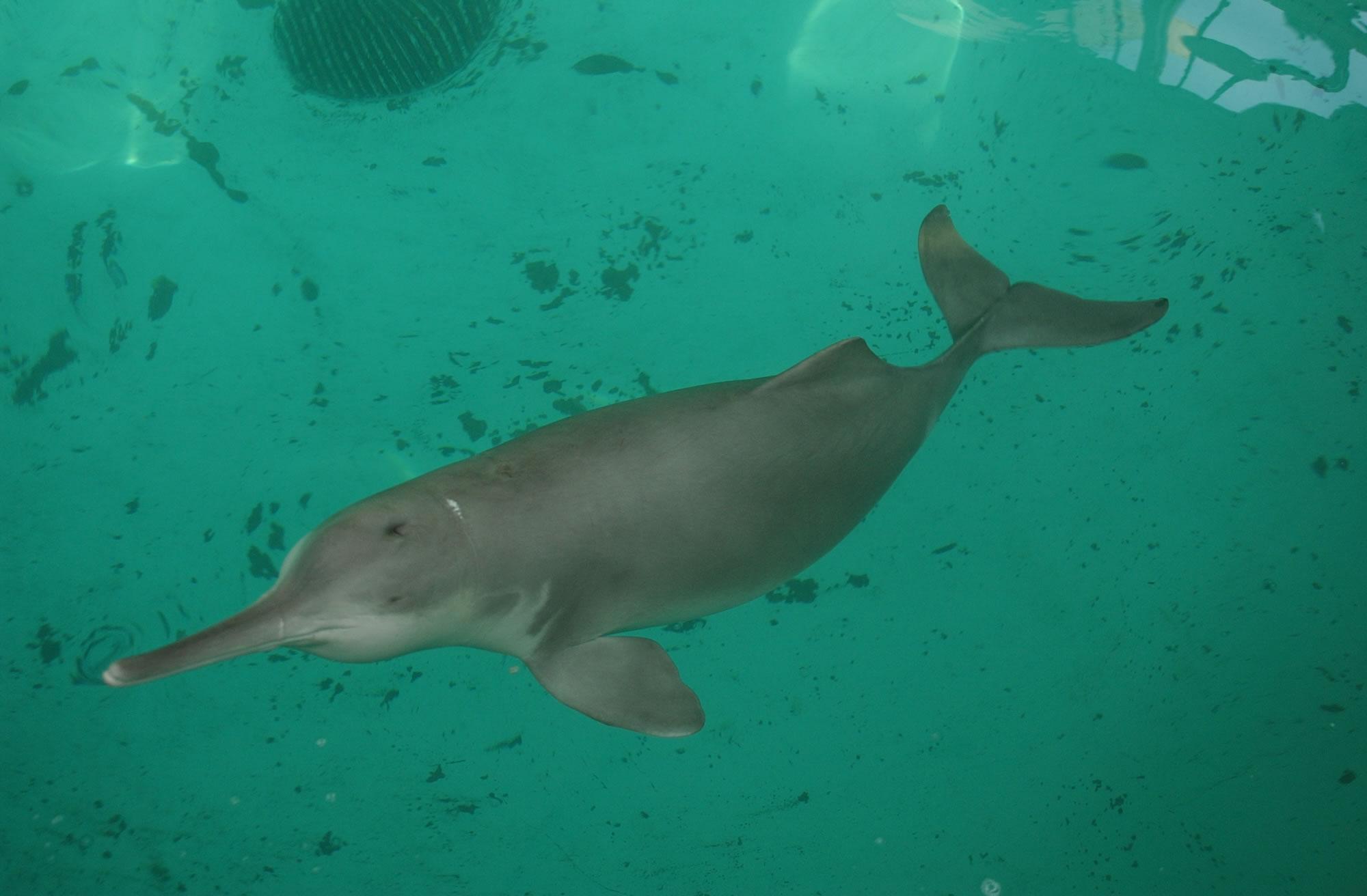 espèces-animaux-disparus-dauphin-chine