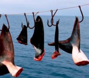 ailerons-requins-shark-finning