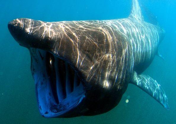 requin-pelerin