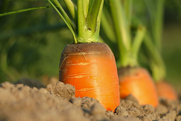 carotte-local-ferme