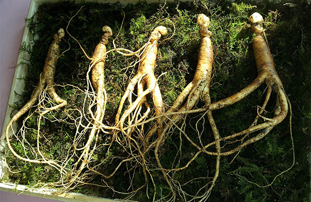 ginseng, racines, médecine chinoise