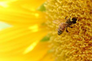 abeille-tournesol
