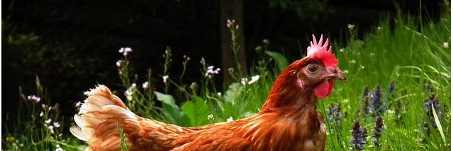 Anti-gaspillage: et si vous osiez des poules à la maison?