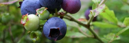 Les super fruits, sources de vitalité