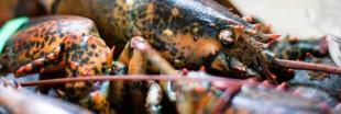 Des homards d'élevage pour repeupler l'océan