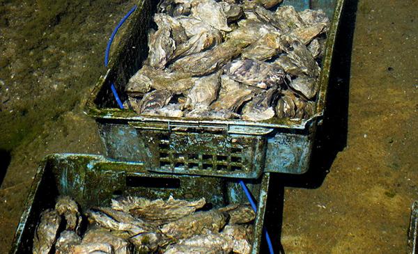 huitre-mollusque-crustace-reveillon-alimentation-08