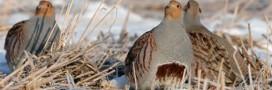 Biodiversité, perdrix et tourterelles en danger