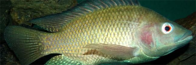 D couvrez le tilapia le poisson le plus consomm au monde for Poisson les plus cuisiner