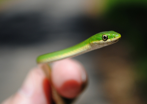 animaux-03-Rough-Green-Snake-Opheodrys-aestivus-Jesse-H-Jones-Park-Nature-Center-Humble-Texas_Patrick-Feller