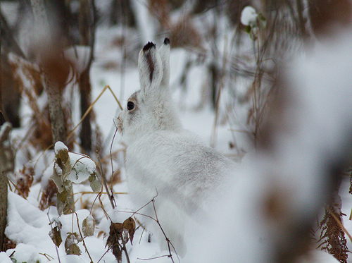 animaux-13-mountain-hare_Novosibirskaya-Oblast-RU_Tatiana Bulyonkova