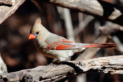 animaux-14-cardinal-female-Soldier-Creek-Nature-Trail_Midwest-City_Oklahoma_tom-smith