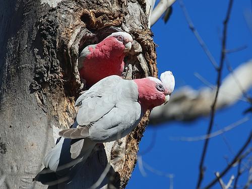 animaux-15-Galah-Eolophus-roseicapillus-Mulligans-Flat-Nature-Reserve_Canberra-Australia_david-cook